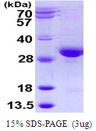 RAB32 Protein