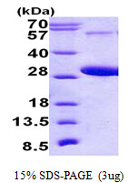 RAB5C Protein