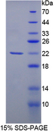 RASGRF1 / CDC25 Protein - Recombinant  Cell Division Cycle Protein 25 By SDS-PAGE