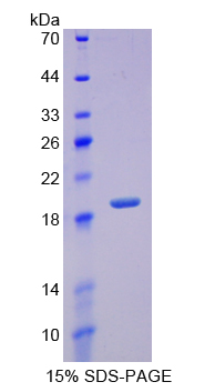 REG3G Protein - Recombinant  Regenerating Islet Derived Protein 3 Gamma By SDS-PAGE
