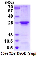 RGS1 Protein
