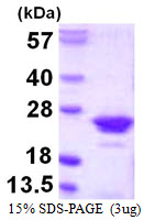 RGS10 Protein