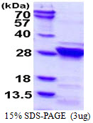RGS4 Protein