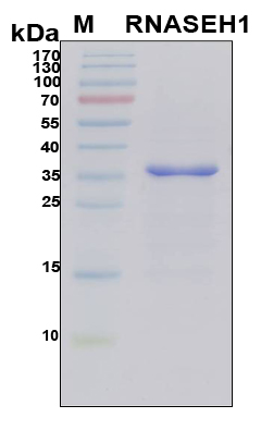 RNASEH1 Protein - SDS-PAGE under reducing conditions and visualized by Coomassie blue staining