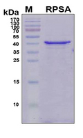 RPSA / Laminin Receptor Protein - SDS-PAGE under reducing conditions and visualized by Coomassie blue staining