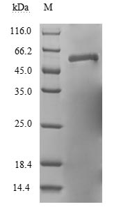 RSV F0 Protein - (Tris-Glycine gel) Discontinuous SDS-PAGE (reduced) with 5% enrichment gel and 15% separation gel.