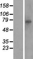 RTP5 / CXXC11 Protein - Western validation with an anti-DDK antibody * L: Control HEK293 lysate R: Over-expression lysate