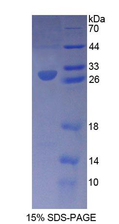 RXRG Protein - Recombinant  Retinoid X Receptor Gamma By SDS-PAGE