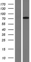 RYK Protein - Western validation with an anti-DDK antibody * L: Control HEK293 lysate R: Over-expression lysate