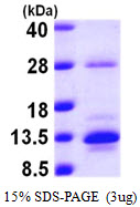 S100A10 Protein