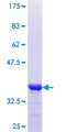 SCEL Protein - 12.5% SDS-PAGE Stained with Coomassie Blue.