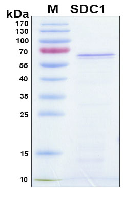SDC1 / Syndecan 1 / CD138 Protein - SDS-PAGE under reducing conditions and visualized by Coomassie blue staining