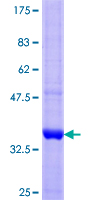 SGCA / DAG2 Protein - 12.5% SDS-PAGE Stained with Coomassie Blue.