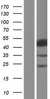 SH2D2A Protein - Western validation with an anti-DDK antibody * L: Control HEK293 lysate R: Over-expression lysate
