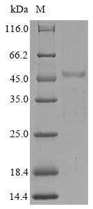 SH3YL1 Protein - (Tris-Glycine gel) Discontinuous SDS-PAGE (reduced) with 5% enrichment gel and 15% separation gel.