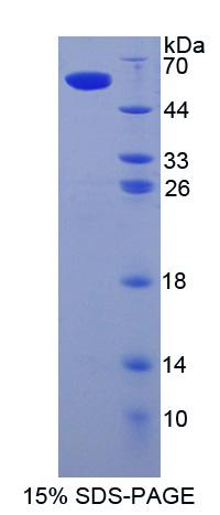 SIGLEC8 Protein - Recombinant  Sialic Acid Binding Ig Like Lectin 8 By SDS-PAGE