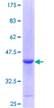 SIRT6 / Sirtuin 6 Protein - 12.5% SDS-PAGE Stained with Coomassie Blue.