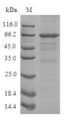 SLFN12L Protein - (Tris-Glycine gel) Discontinuous SDS-PAGE (reduced) with 5% enrichment gel and 15% separation gel.