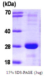 SNAP23 / SNAP-23 Protein
