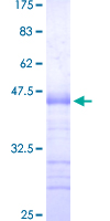 SP3 Protein - 12.5% SDS-PAGE Stained with Coomassie Blue.