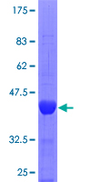 SPAG5 / MAP126 Protein - 12.5% SDS-PAGE Stained with Coomassie Blue.