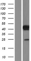 SPATC1L / C21orf56 Protein - Western validation with an anti-DDK antibody * L: Control HEK293 lysate R: Over-expression lysate