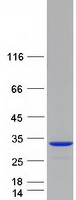 SPATC1L / C21orf56 Protein - Purified recombinant protein SPATC1L was analyzed by SDS-PAGE gel and Coomassie Blue Staining