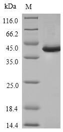 SPI1 / PU.1 Protein - (Tris-Glycine gel) Discontinuous SDS-PAGE (reduced) with 5% enrichment gel and 15% separation gel.