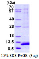 SYCE3 Protein