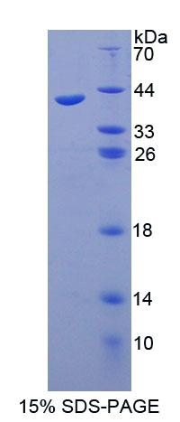 SYT1 / Synaptotagmin Protein - Recombinant Synaptotagmin I By SDS-PAGE