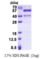 SYT13 Protein
