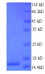 T Cell Receptor Alpha Constant Protein