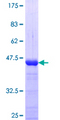 TCEA1 / TFIIS Protein - 12.5% SDS-PAGE Stained with Coomassie Blue.