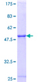 TCEAL1 Protein - 12.5% SDS-PAGE Stained with Coomassie Blue.