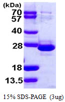 TCEAL1 Protein