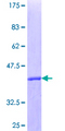 TFDP1 Protein - 12.5% SDS-PAGE Stained with Coomassie Blue.