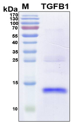 TGFB1 / TGF Beta 1 Protein - SDS-PAGE under reducing conditions and visualized by Coomassie blue staining
