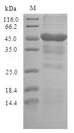 TLR10 Protein - (Tris-Glycine gel) Discontinuous SDS-PAGE (reduced) with 5% enrichment gel and 15% separation gel.