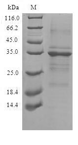 TMEM59 Protein - (Tris-Glycine gel) Discontinuous SDS-PAGE (reduced) with 5% enrichment gel and 15% separation gel.