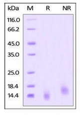 TNFRSF17 / BCMA Protein - Human BCMA / TNFRSF17, human recombinant