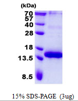 TNFRSF17 / BCMA Protein