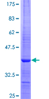 TOR2A Protein - 12.5% SDS-PAGE Stained with Coomassie Blue.