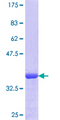 TPM1 / Tropomyosin Protein - 12.5% SDS-PAGE Stained with Coomassie Blue.