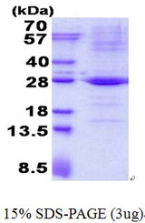 TRAPPC4 / Synbindin Protein