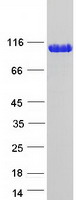 TRIM28 / KAP1 Protein - Purified recombinant protein TRIM28 was analyzed by SDS-PAGE gel and Coomassie Blue Staining
