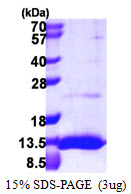 UBL5 Protein