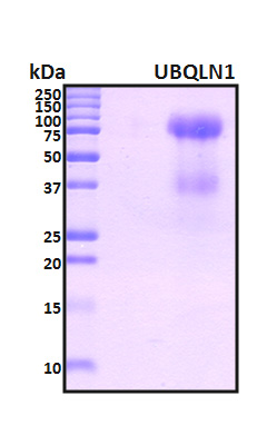 UBQLN1 / Ubiquilin Protein - SDS-PAGE under reducing conditions and visualized by Coomassie blue staining