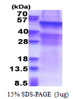 UGT8 Protein