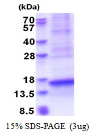 VCC-1 / CXCL17 Protein
