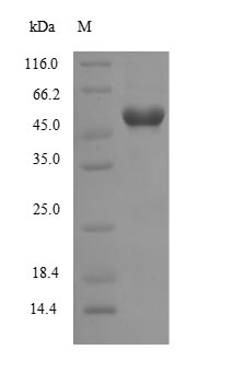 WNT7B Protein - (Tris-Glycine gel) Discontinuous SDS-PAGE (reduced) with 5% enrichment gel and 15% separation gel.